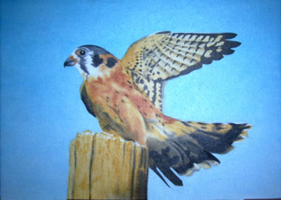 Kestral on hunting perch
