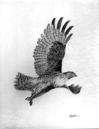 A hawk in flight